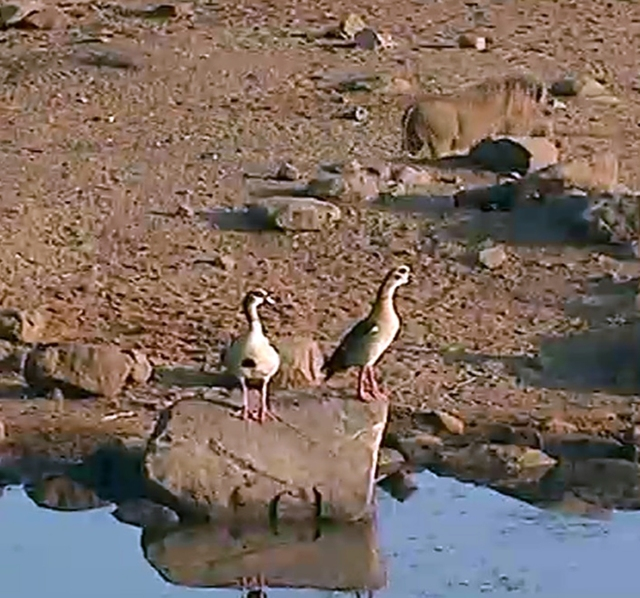 two ducks deciding whether to make the plunge into the water; can you spot the warthog making a quick exit behind them?