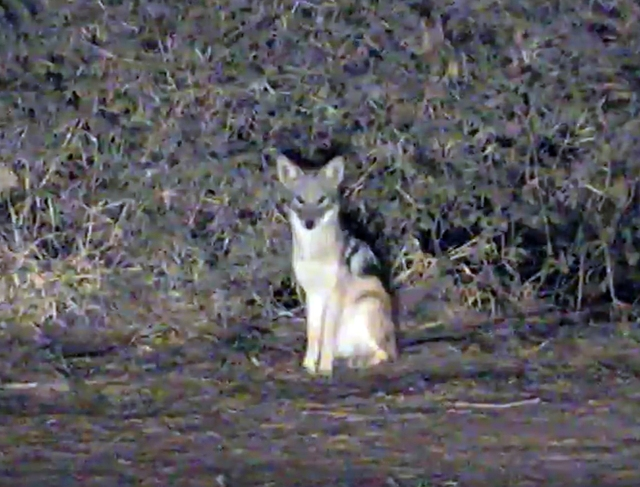 my fiend Jeff is a Wildlife Biologist and identified this young one as a Golden Jackal.