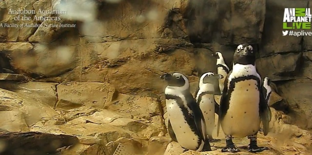 these South American and African penguins are at the Audubon Aquarium of the Americans in the French Quarter of New Orleans.  Not only are they cute to watch, they're also very loud...