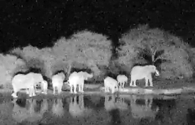 this is a small group of elephants leaving the pond before dawn
