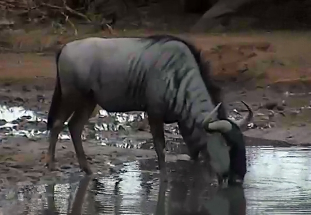 here's a wildebeest taking a drink later in the day...