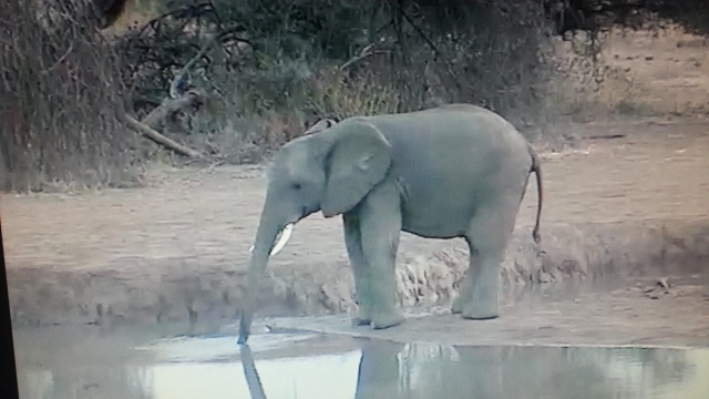 I spotted a young elephant taking a drink the following morning...