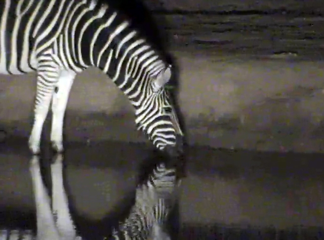 this zebra came around for a drink as I was beginning to write this post.  Look at the reflection in the water...