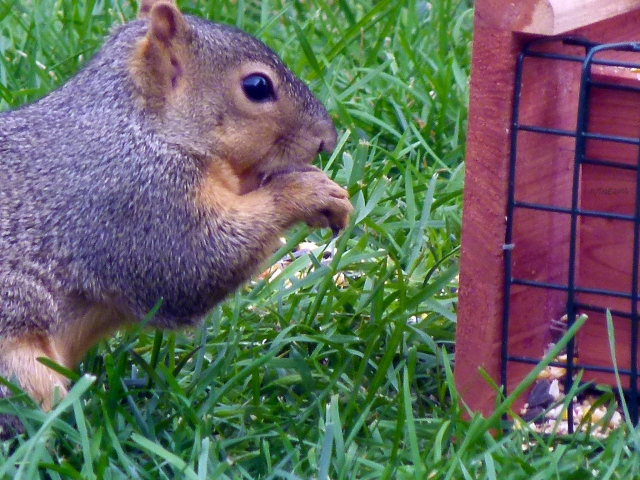 one of the three squirrels that had been around came by to see what happened...