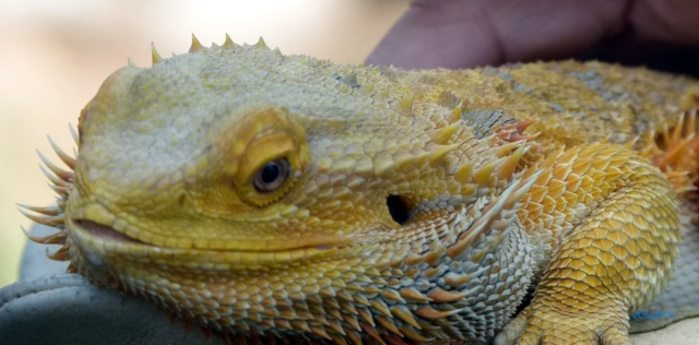 nearby a volunteer was holding this Bearded Dragon..